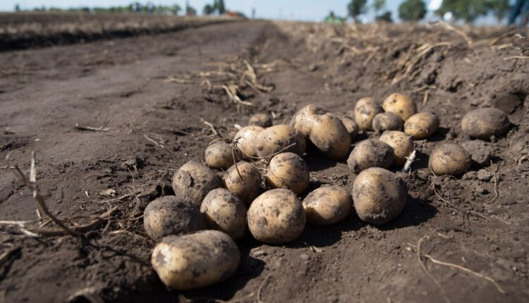 На Херсонщині пройде «Всеукраїнський день картоплі»
