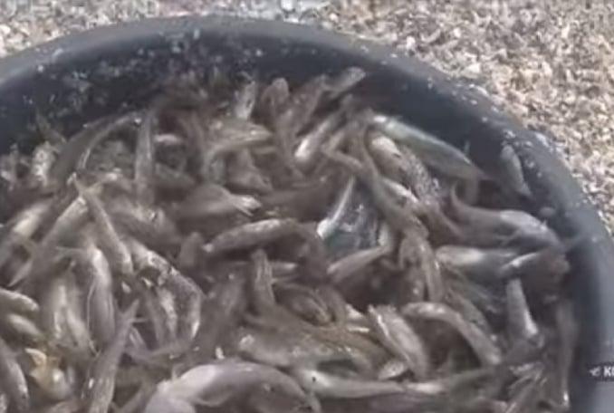 На Херсонщині на лимані риба  щільним шаром вкрили узбережжя: люди збирають відрами